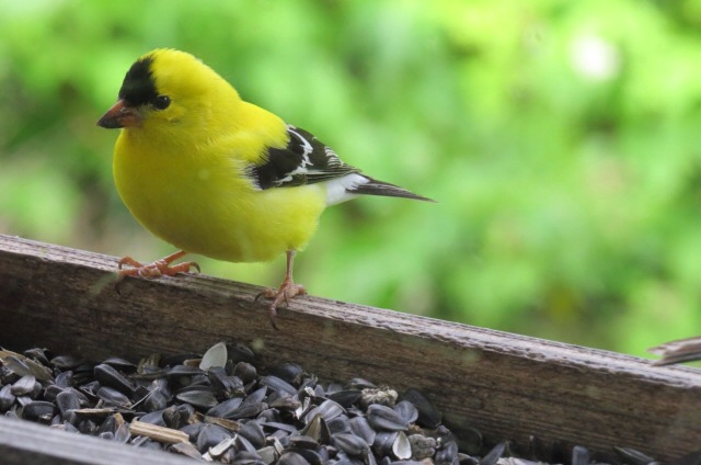 Of an American goldfinch.