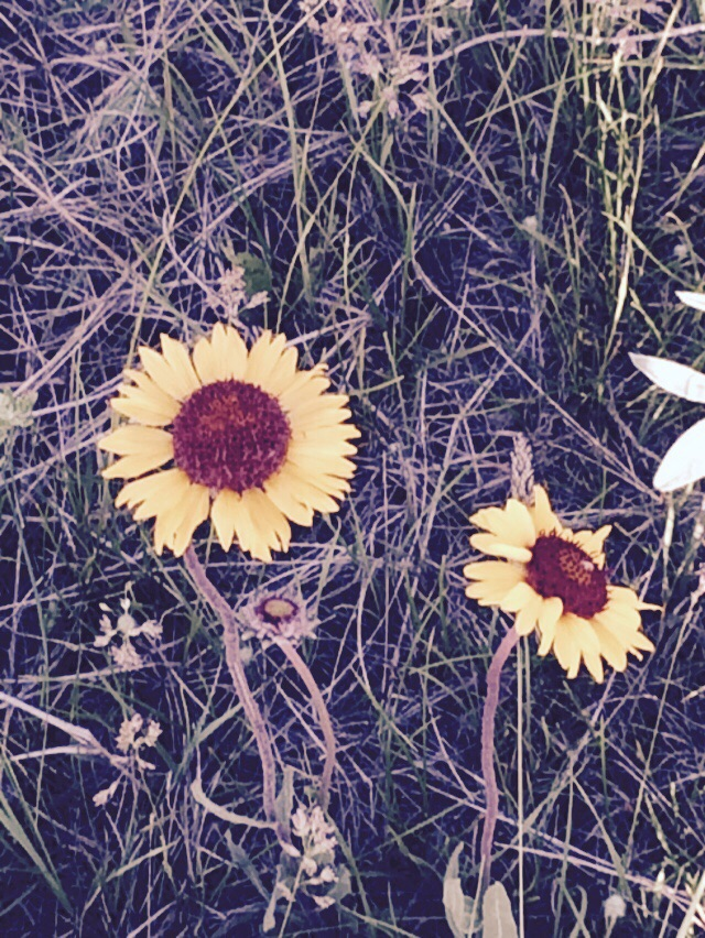 I love blanket flowers.