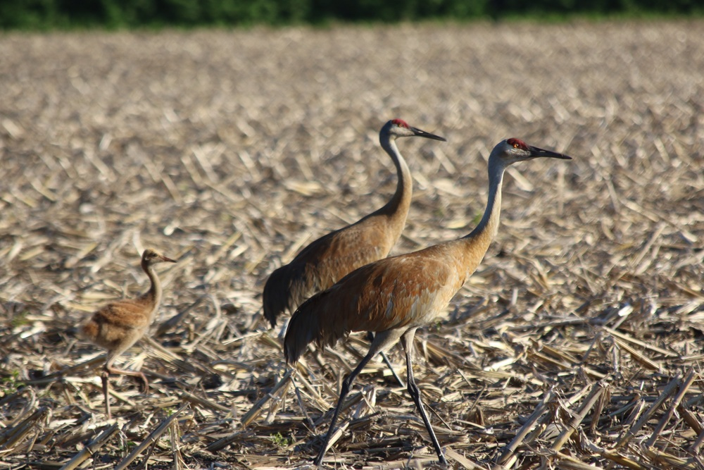 Sandhill crane pair with colt.