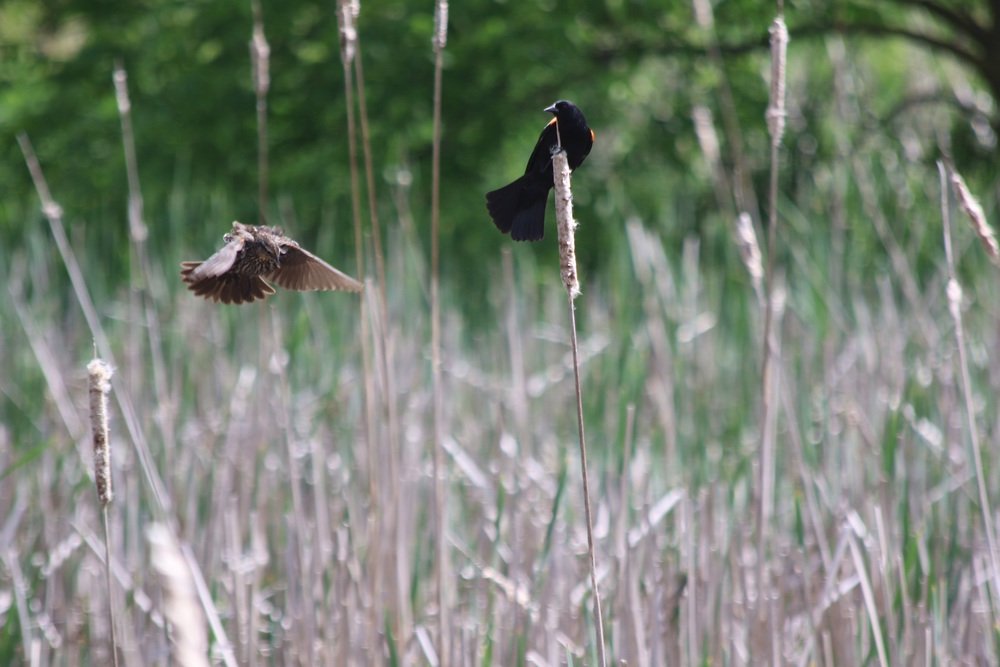 Ma and Pa red-winged blackbird.