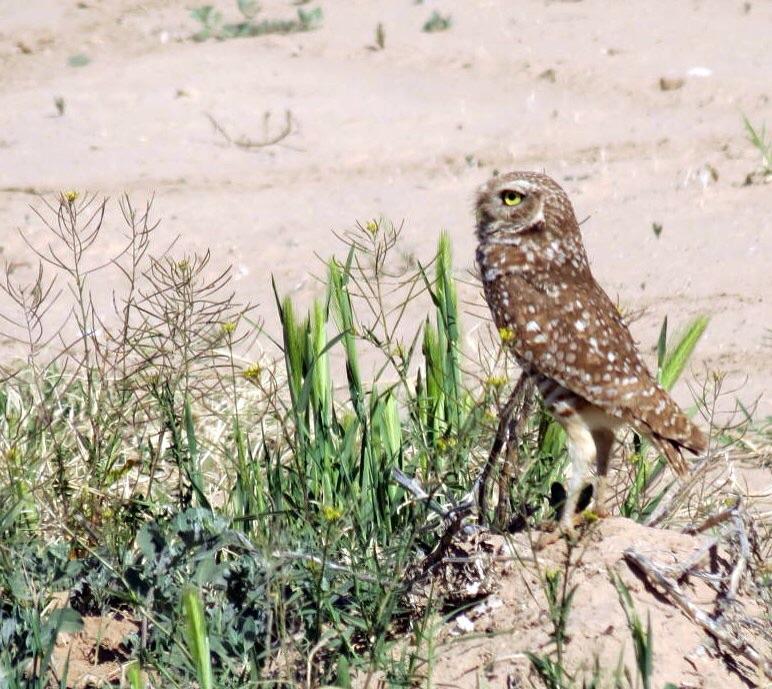 Burroeing owl