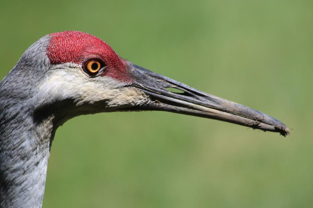 A sandhill crane.