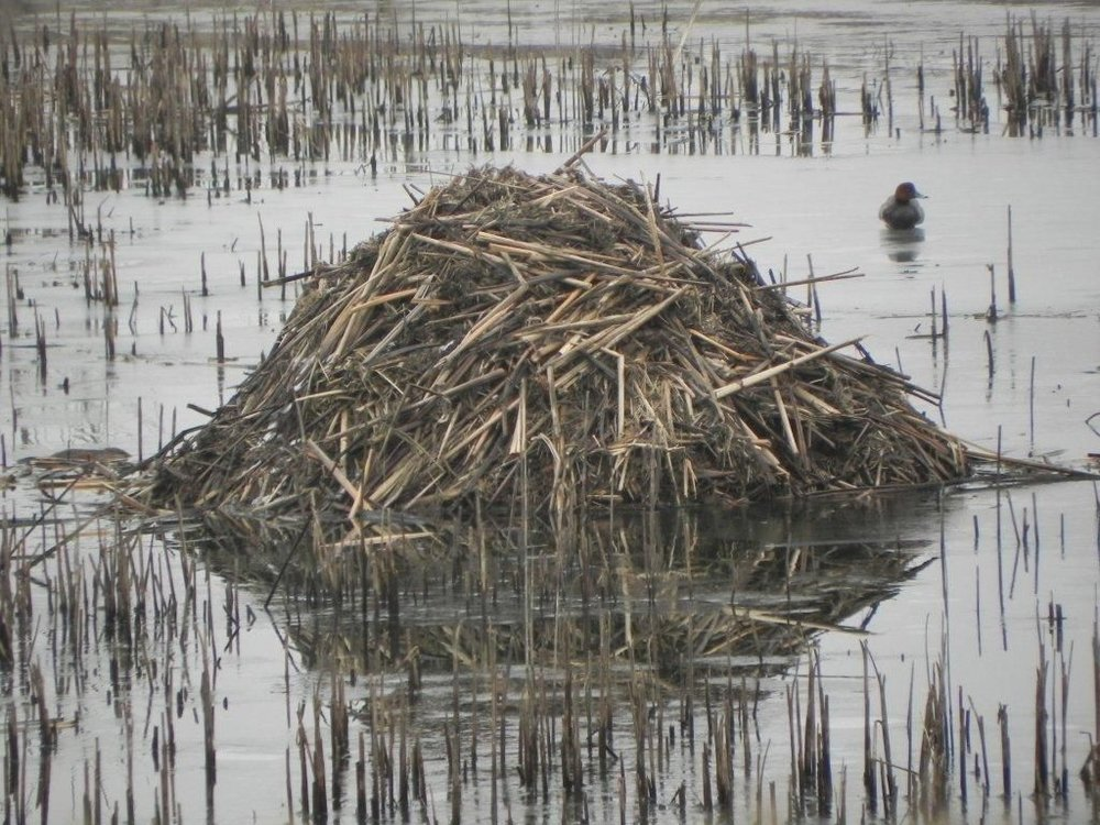 The real estate taxes on muskrat houses have remained unchanged for many years.