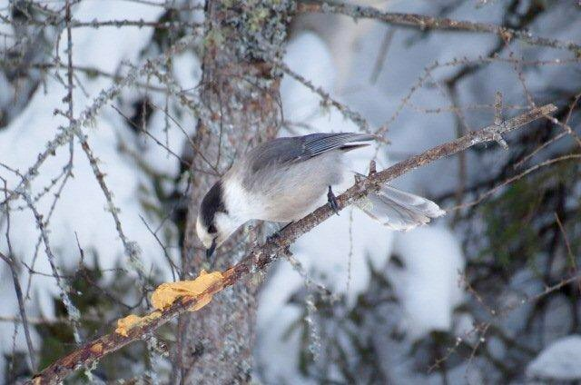 A gray jay (Canada jay, whiskey jack or camp robber) eating peanut butter.