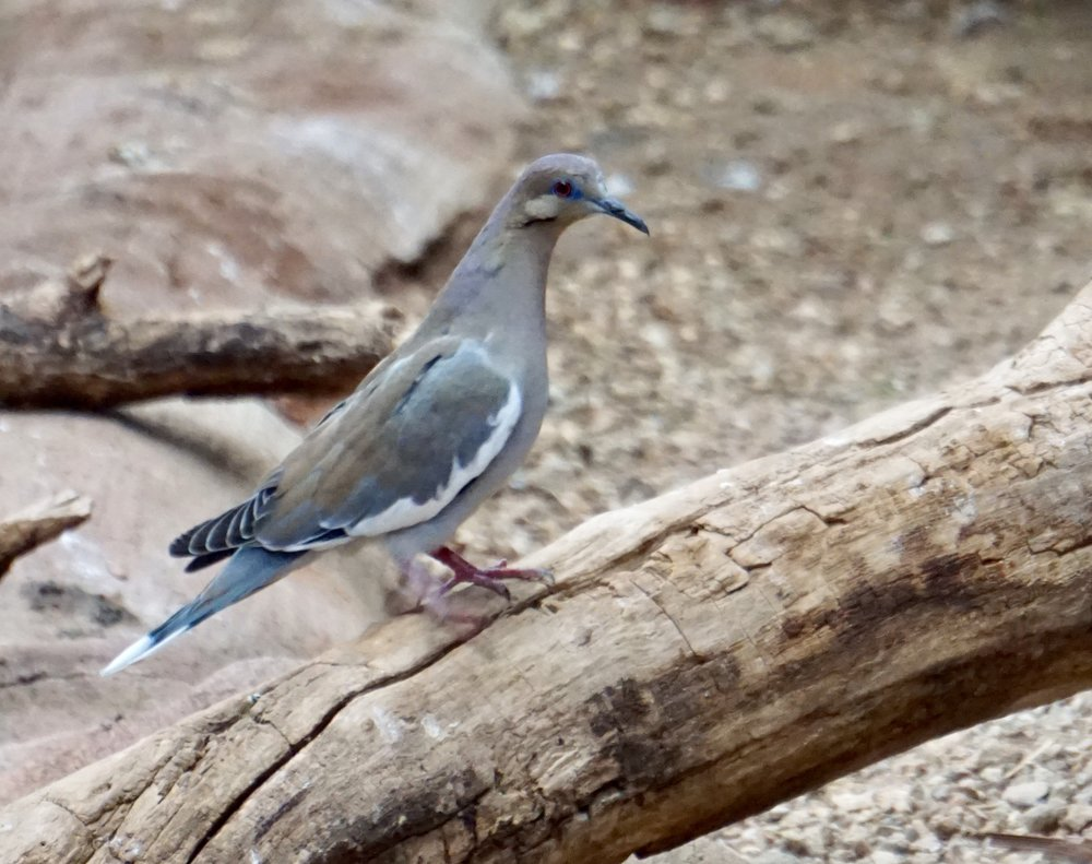 A white-winged dove, a bird I see regularly in Texas.