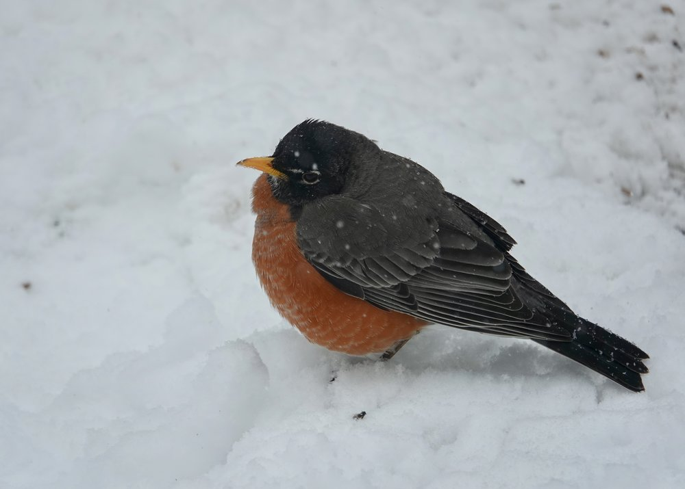 It's said that a robin needs three snows on its tail before it's truly spring. This bird's tail has seen more snows than that.