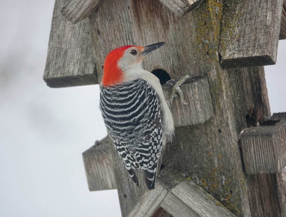 The red-bellied woodpecker has a fine looking back.