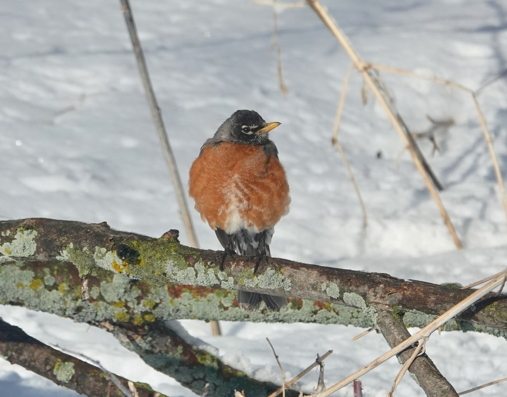 A robin in what has proven to be a characteristic pose this spring.