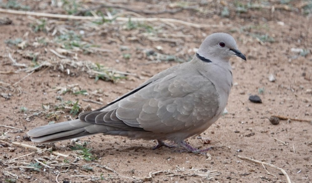 I hear the Eurasian collared-dove calling all year.