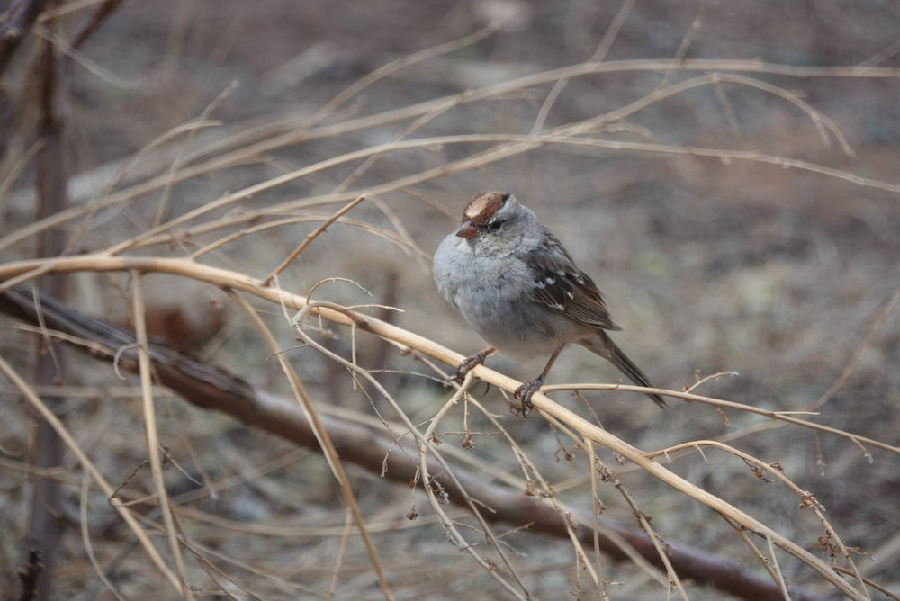 Immature white-crowned sparrows have brown and gray stripes on their heads instead of the white and black stripes of adults.