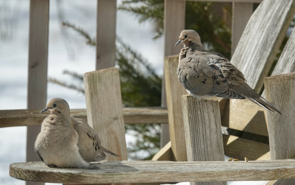 Mourning doves enjoy deck furniture.