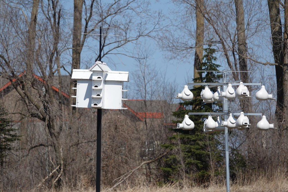 Some purple martins had returned on April 13, others on April 14. No flying insects for them to eat. I saw no martins yesterday.
