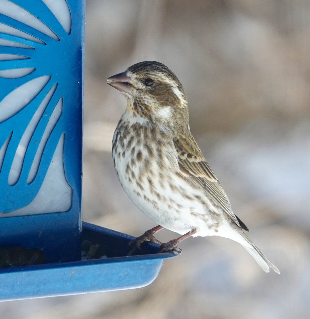 White eyebrow indicates this is a female purple finch, not house finch.