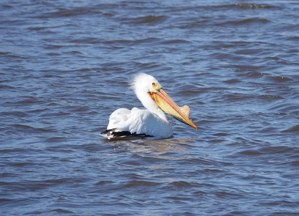 A pelican sporting a nuptial tubercle.