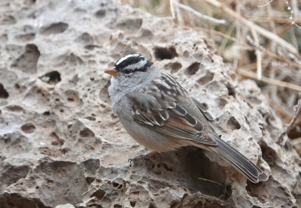 A smartly patterned white-crowned sparrow.