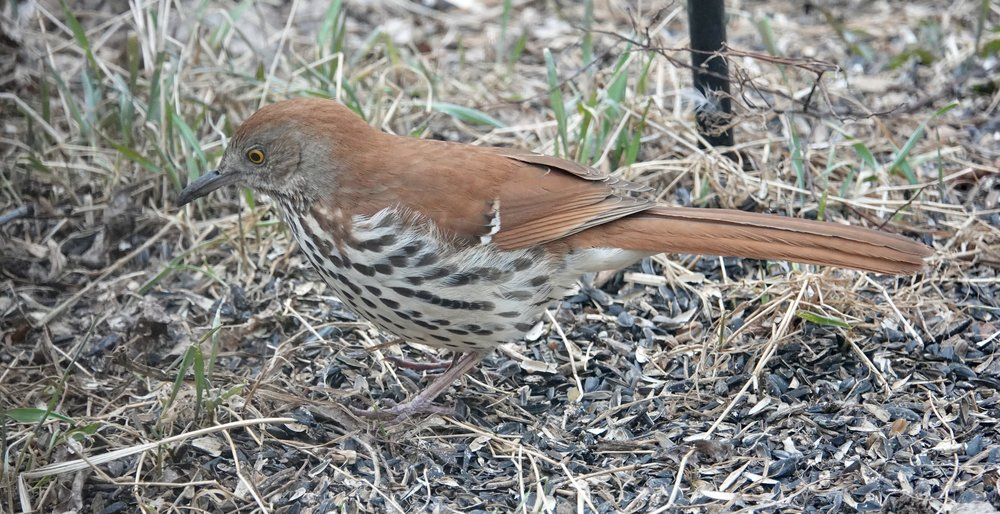 "A brown thrasher has graced my yard. He chairs a gardener's support group. A mnemonic for his melodious song in which he repeats himself as men my age do is, ""Plant a seed, plant a seed; bury it, bury it; cover it up, cover it up; let it grow, let it grow; pull it up, pull it up; eat it, eat it."""