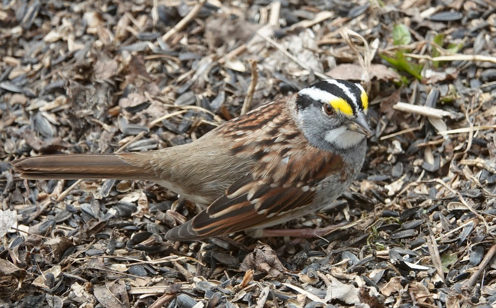 "A white-throated sparrow brightens a yard. It's lovely whistle tells part of the tale of, ""Old Sven Peterson, Peterson, Peterson."""