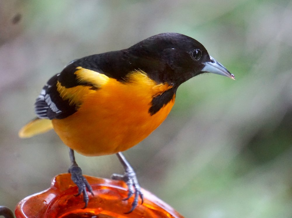 A Baltimore oriole stopped by today for a bite of jelly.