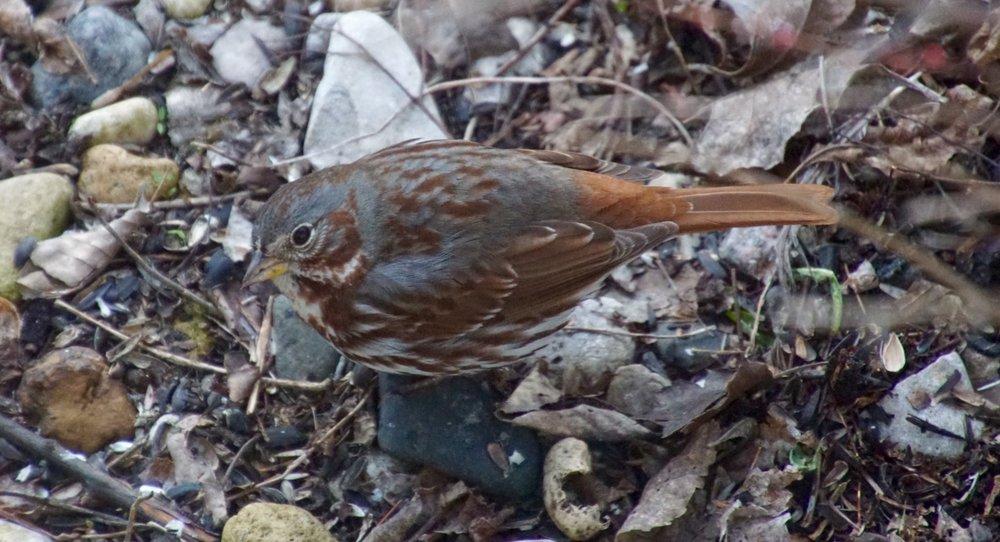 Still have a foxy fox sparrow in my yard.