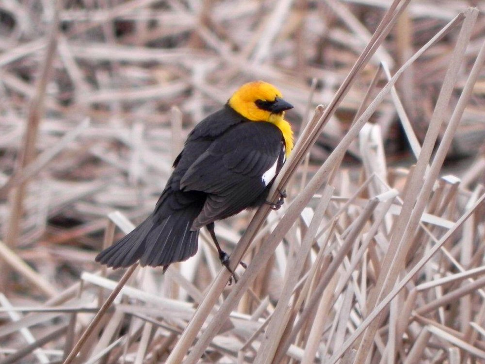 A handsome fellow, the yellow-headed blackbird's song is not appreciated by every ear.