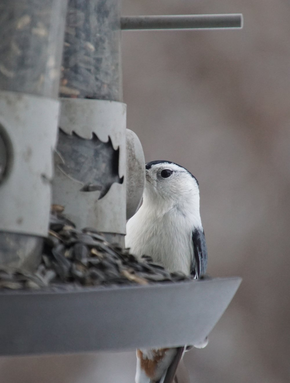 A nuthatch notices things like me.