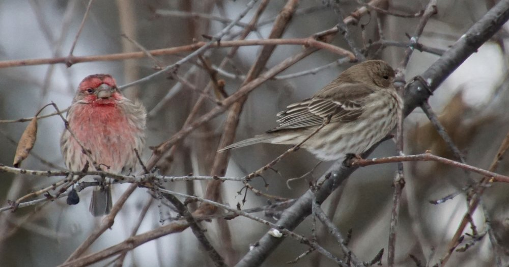House finches nearly hidden by small twigs.