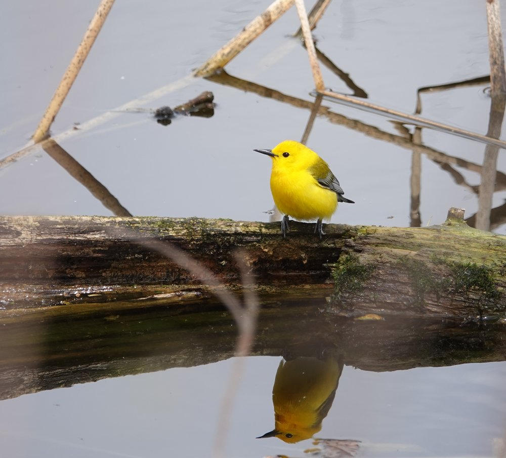 The prothonotary warbler played an important role in the Alger Hiss espionage trial (1948-1950). This involved the House Un-American Activities Committee and Whitaker Chambers. It brought Richard Nixon to prominence.