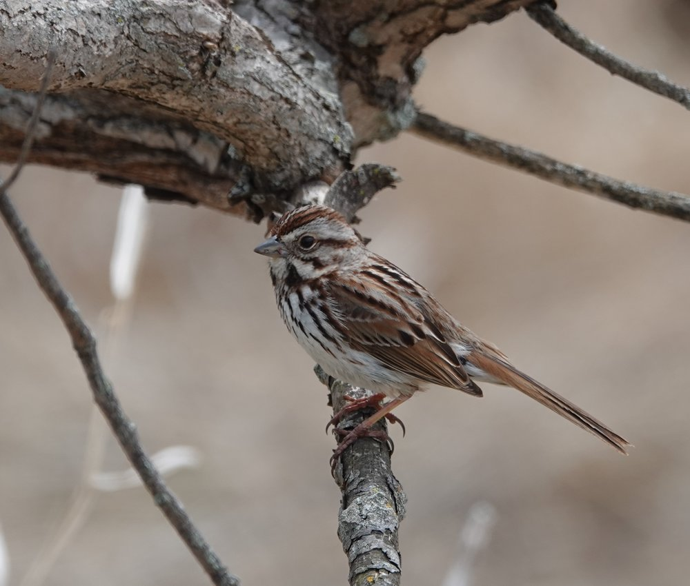 A song sparrow, the deluxe version.