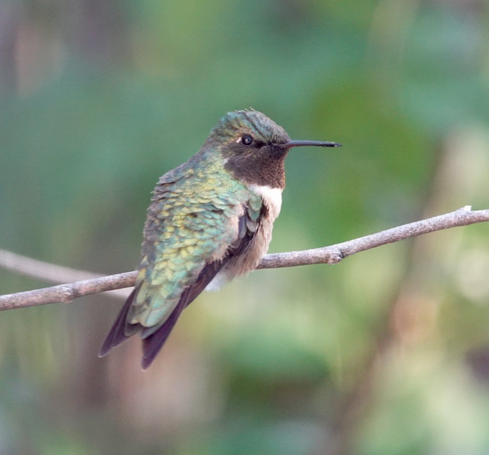 A ruby-throated hummingbird not looking very ruby-throated.