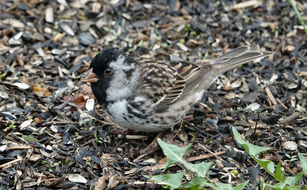 The Harris's sparrow is the only songbird that breeds exclusively in Canada.