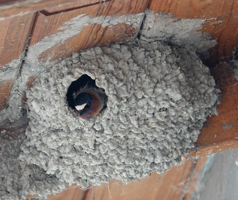 Cliff swallows build by mouth.