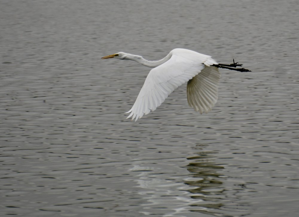 As egrets go, this was a great one.