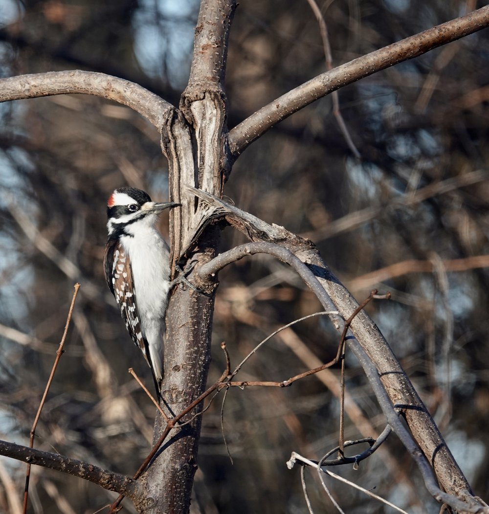 This woodpecker didn't know his own strength.