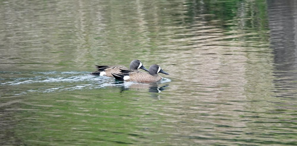 The betting window was busy at the duck races today. These two blue-winged teal swam bill-to-bill.
