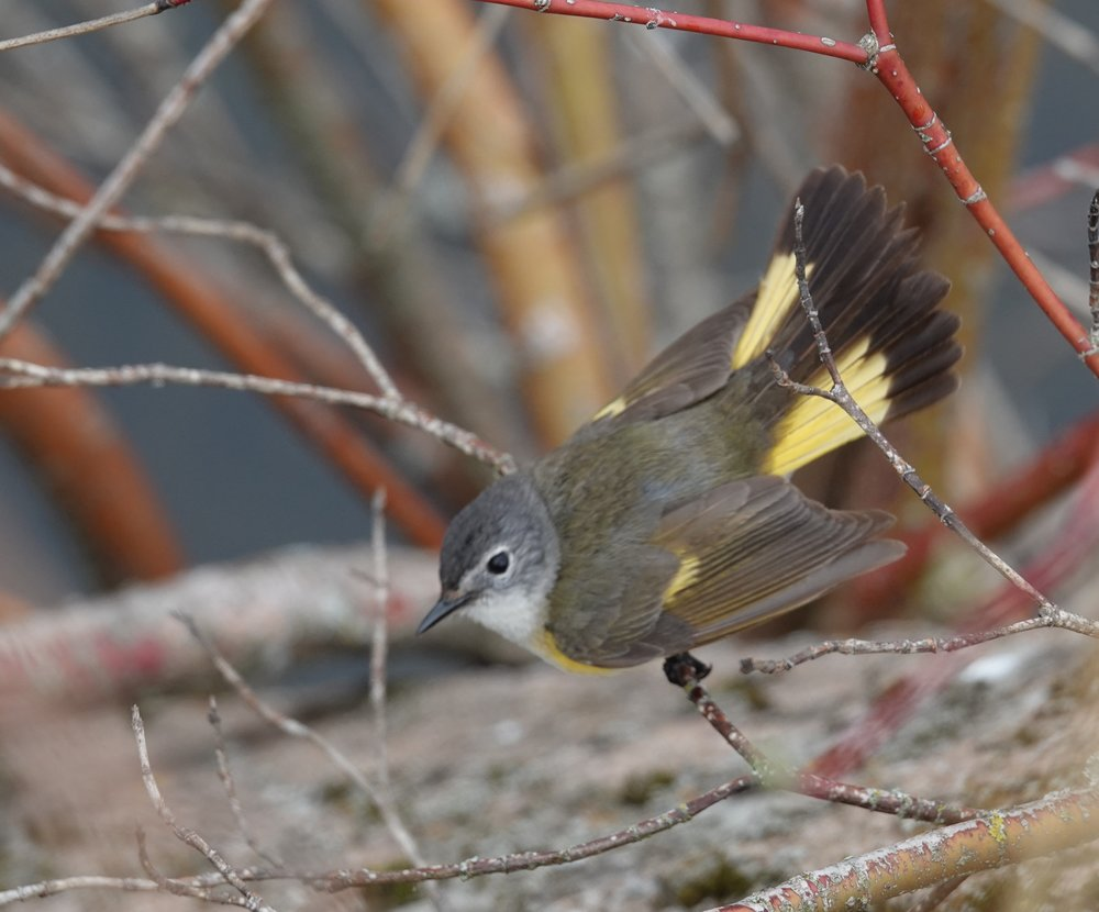 A female American redstart. A snazzy little hen is this butterfly of birds.