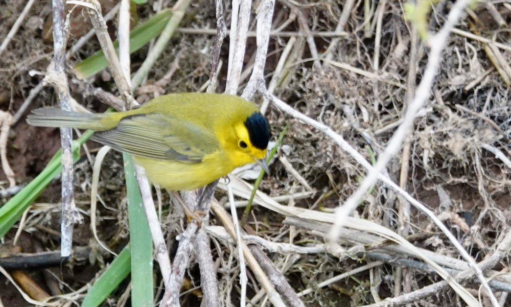 The Wilson's warbler wears a black crown.