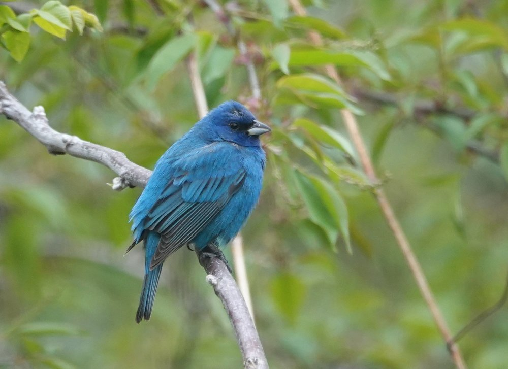 The indigo bunting breeds from southeastern Saskatchewan east to New Brunswick, and south to central Arizona, central Texas, Gulf Coast, and northern Florida. It is very tired.