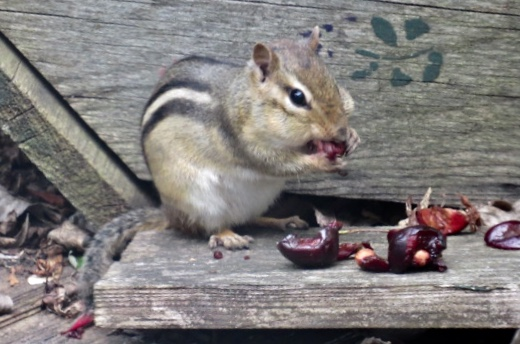 A chipmunk using its cheeks as lunch boxes.