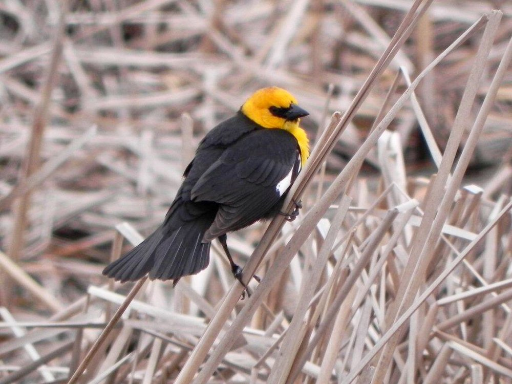 The yellow-headed blackbird's song sounds as if it is being strangled.