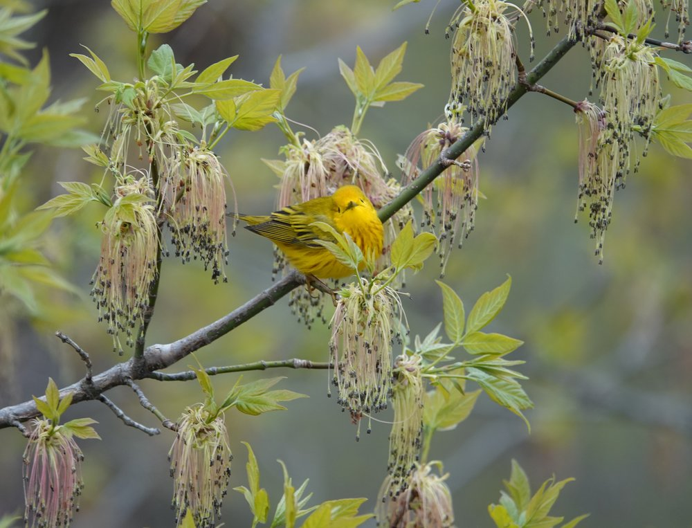 A yellow warbler losing yet another game of hide-and-seek.