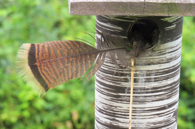 A house sparrow put something down on a bluebird house. A wild turkey feather.