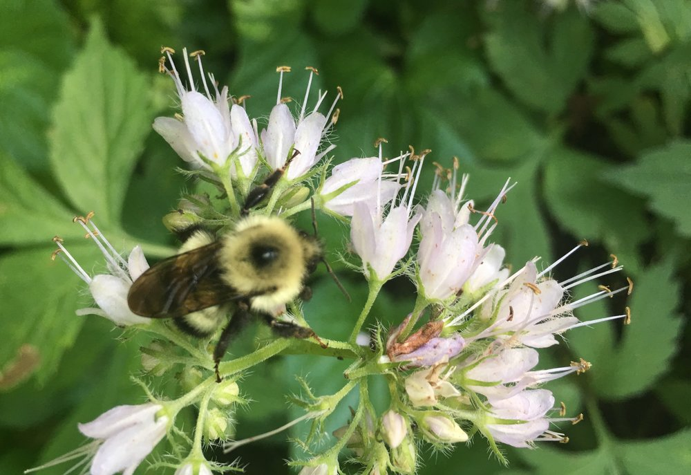 This is the bumblebee I petted this morning as it busied itself on Virginia waterleaf.