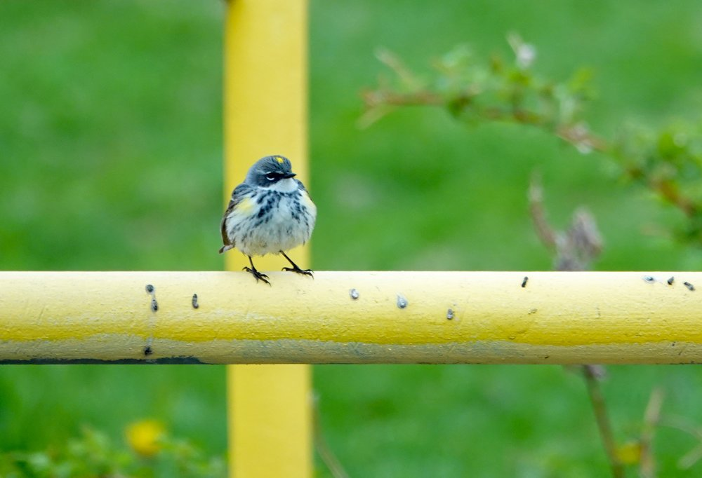 A butterbutt (yellow-rumped warbler) trying to hide its yellow bits from view.