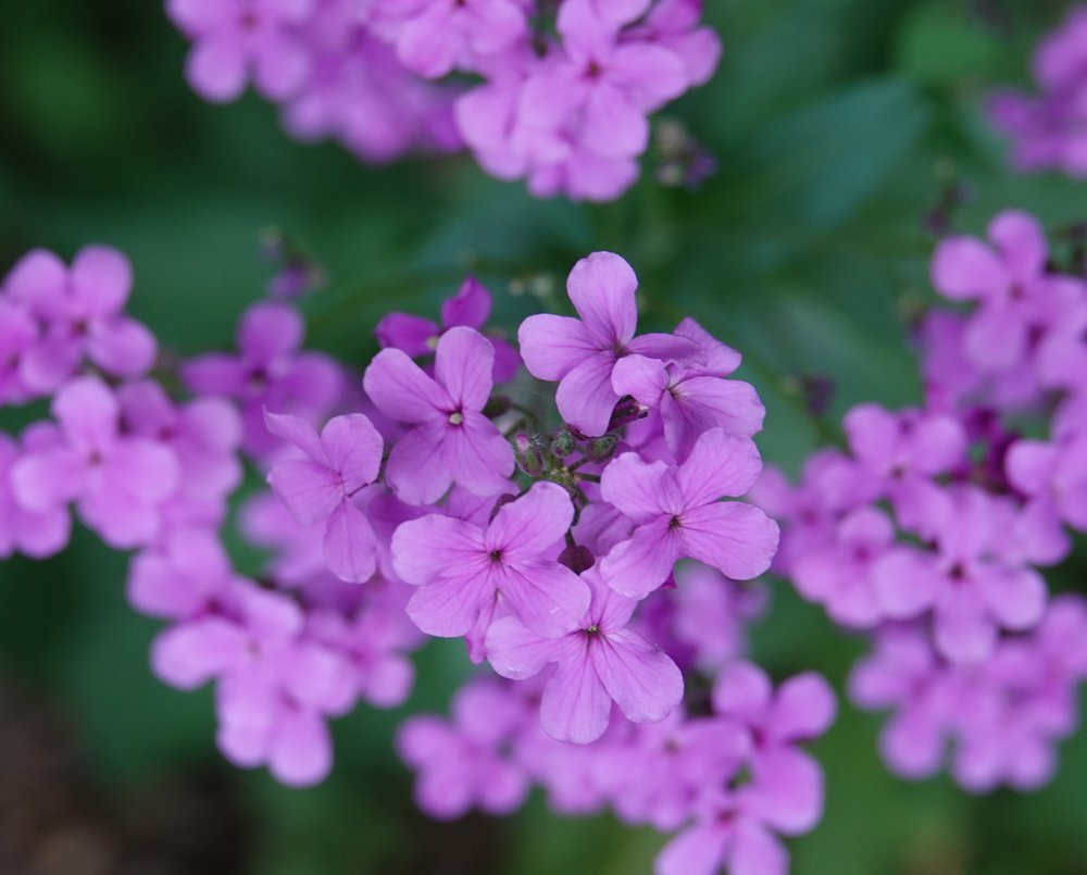 Dame's rocket is often confused for a native phlox, but phlox has 5-petaled flowers and dame's rocket has 4 petals.