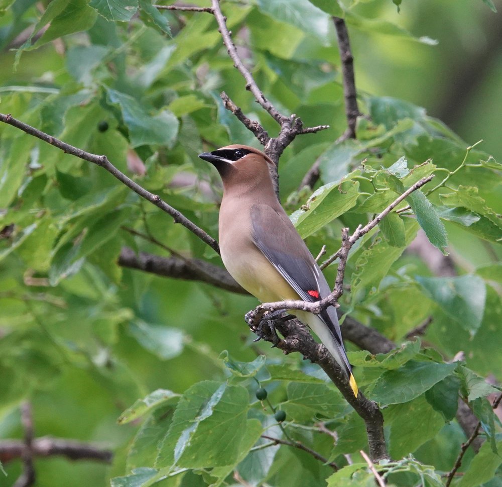 This handsome cedar waxwing had just been on the ground eating midges.