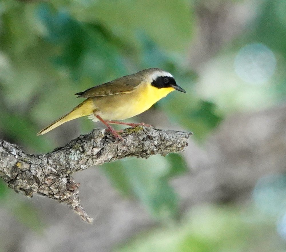 A common yellowthroat. Each warbler is a one-bird bouquet.