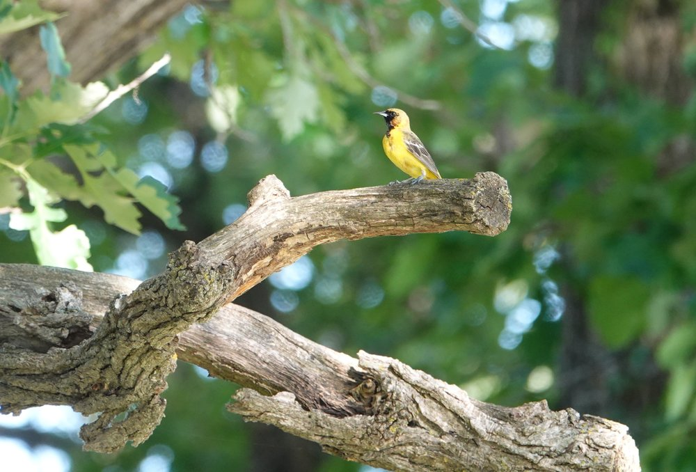 "Immature male orchard oriole singing, """"Look here, what cheer, wee yo, what cheer, whip yo, what wheer."""