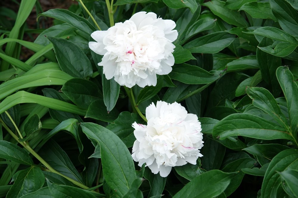 Peonies were live bouquets at the cemeteries I visited as a boy.