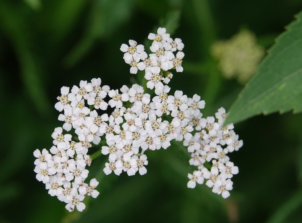 Yarrow was formerly used to break a fever by increasing perspiration, to treat hemorrhaging and as a poultice for rashes.