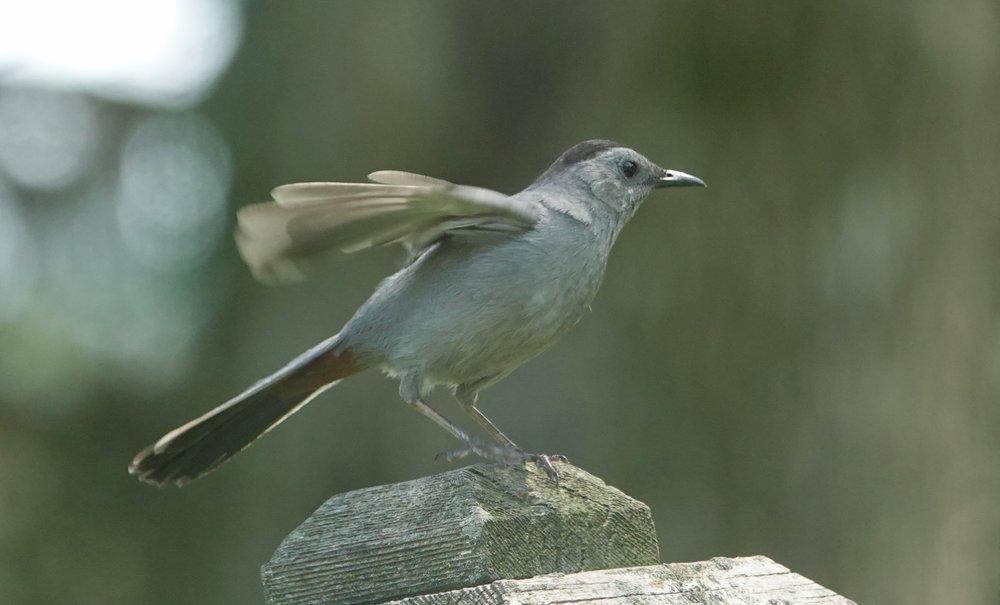 A gray catbird's giddyup.